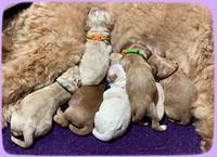 Laynie Benz pups Newborn 41