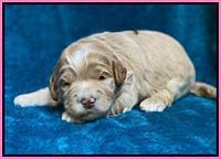 Laynie Benz pups 2 wks old 71