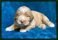 Laynie Benz pups 2 wks old 41