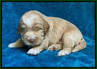 Laynie Benz pups 2 wks old 51