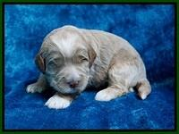 Laynie Benz pups 2 wks old 61