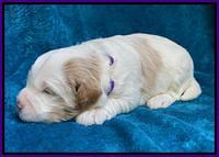 Laynie Benz pups 2 wks old 131