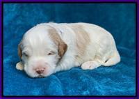 Laynie Benz pups 2 wks old 141