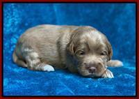Laynie Benz pups 2 wks old 151
