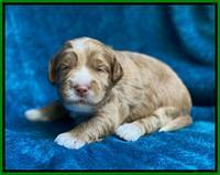 Laynie Benz pups 2 wks old 191