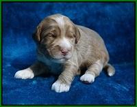 Laynie Benz pups 2 wks old 201
