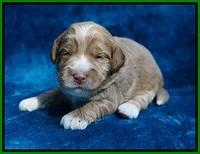 Laynie Benz pups 2 wks old 211