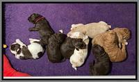 London Tucker pups 2 wk old 281