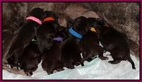 Coco Champ newborn pups 008