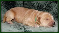 Rina REagan pups 1 wk old 81