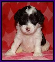 Sparkle Texas pups 4 weeks old 61