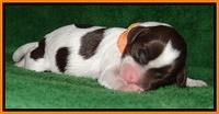Sparkle Texas pups newborn 161