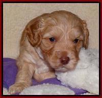 Sky Reagan pups 4 weeks old 141