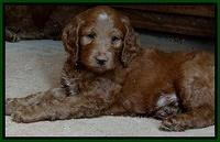 Dulcie Ruler pups 7 weeks old 81