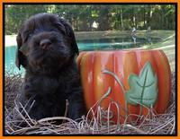 Tela Champ pups 4 wks old 301