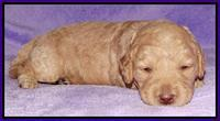 Shelby Armani pups 2 wks old 71