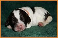 Paris Dempsey pups one wk old 23100