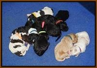 Paris Dempsey pups one wk old 31100