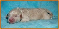 Ivory Talon pups newborn 1 day old 171