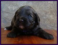 Sandi Texas pups 3 wks old 71