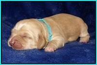 Ellie Flicker pups 1 wk old 241