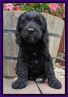 BB Marlow pups 7 wks old 191