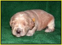 BB Marlow pups 2 wks old 131