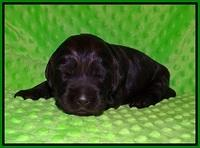 Caymen Trace pups 2 wks old 71