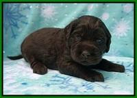 Caymen Trace pups 3 wks old 91