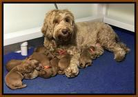 Millie Blaze pups 1 wk old 12120