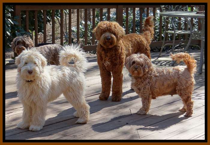 Great Southern Charm Labradoodles   American And Australian Labradoodle Puppy  Breeder, American And Australian Labradoodle Puppies For Sale In Georgia,  ...