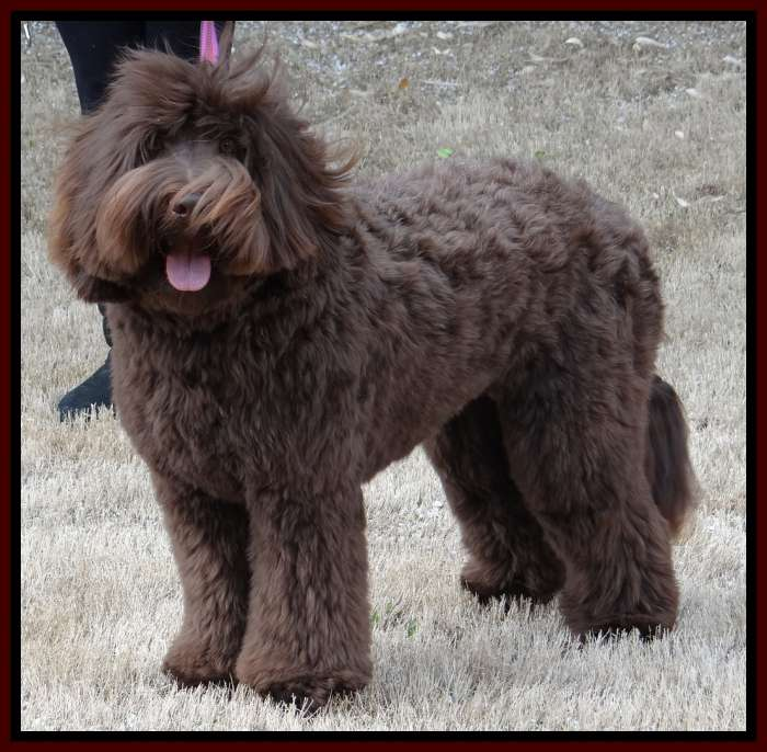 Southern Charm Labradoodles American And Australian