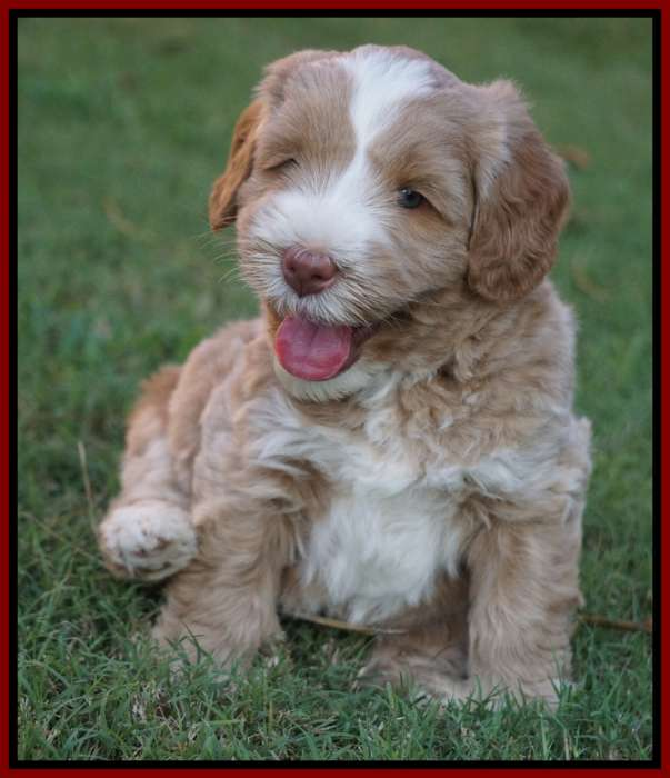 Southern Charm Labradoodles - American and Australian