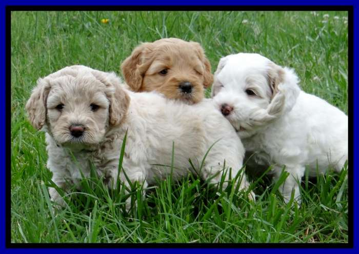 Australian labradoodle puppies amp american labradoodle puppies for sale