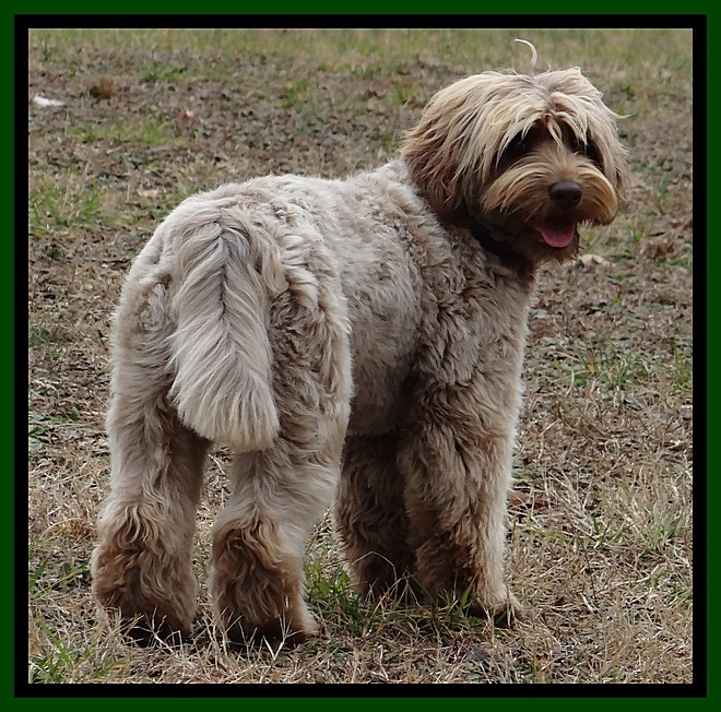 Southern Charm Labradoodles   American And Australian Labradoodle Puppy  Breeder, American And Australian Labradoodle Puppies For Sale In Georgia,  ...