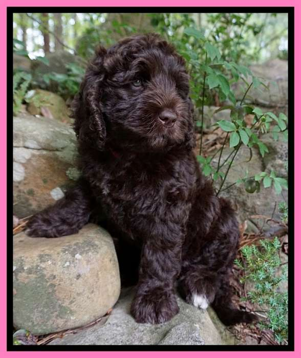 Southern Charm Labradoodles - American and Australian Labradoodle